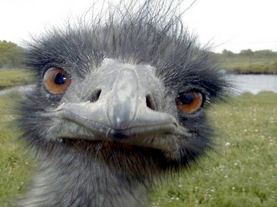 /copyrighteous/images/emu-small.jpg