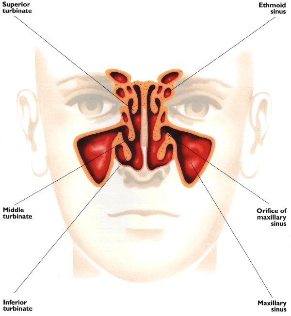 Sinus Congestion  U2013 Copyrighteous