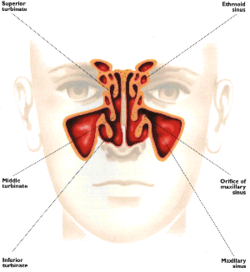 /copyrighteous/images/sinus_diagram-small.png
