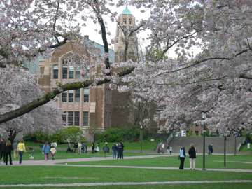 University of Washington Quad in Cherry Blossom Season